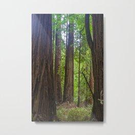 Muir Woods Trees Metal Print