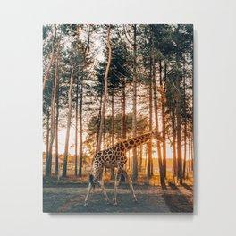 Animal Giraffe in The Netherlands, Noord-Brabant during sunset Metal Print
