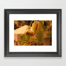 The Sun has Set and tomorrow, God willing, it will rise again [SUNFLOWER] [WILTING] [YELLOW SKY]  Framed Art Print
