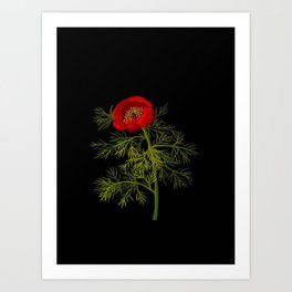 Paeonia Tenuifolia Mary Delany Vintage British Floral Flower Paper Collage Black Background Art Print