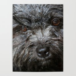 wet puppy portrait Poster