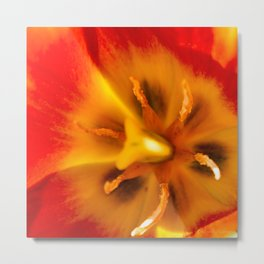 Tulip Red Yellow Glow in Haines, Alaska by Mandy Ramsey Metal Print