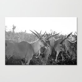 Herd of Eland stand in tall grass in African savanna Canvas Print