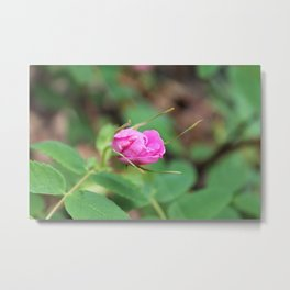 Barely Open Wild Rose Bud Metal Print