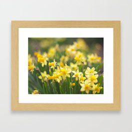 yellow daffodils Framed Art Print
