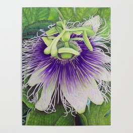Passion Fruit Blossom Poster