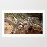A root at Bryce Art Print