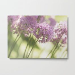 Allium - Onion Flowers 2 Metal Print