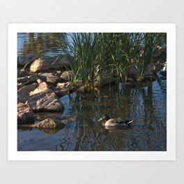 The Duck Between The Reeds And Rocks Art Print