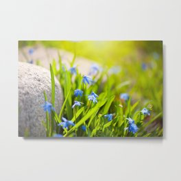 Scilla siberica flowerets named wood squill Metal Print