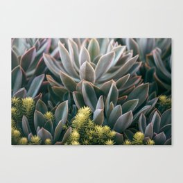Graptoveria Study #3 Canvas Print