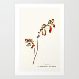 Ligne claire 2: Crocosmia x curtonus Art Print