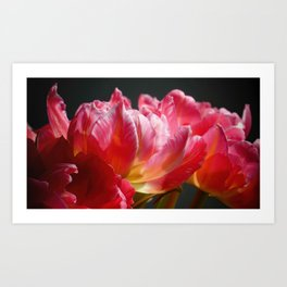 Pink and Red Parrot Tulips close up IV Art Print