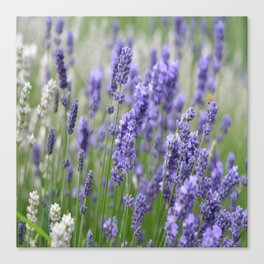 Lavender in field Canvas Print