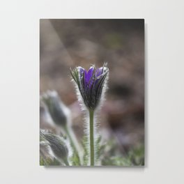 Opening Pasque Flower Metal Print