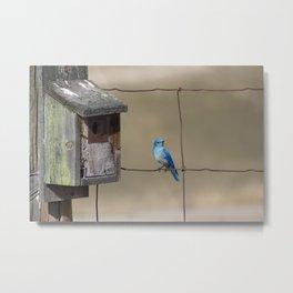 Mountain Bluebird at Home Metal Print