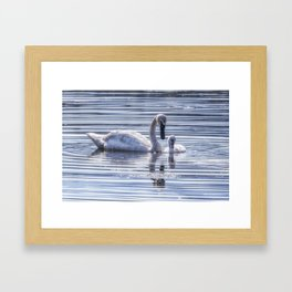 Cygnet with Mother Framed Art Print