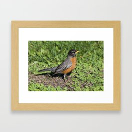 American Robin in the Grass - Photography Framed Art Print