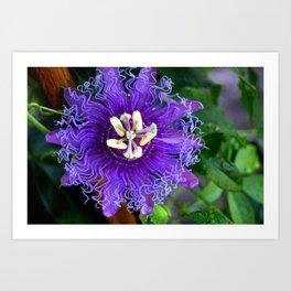 Pasion Fruit -Purple Flower Art Print