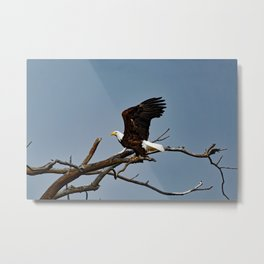 Bald Eagle Lift Off Metal Print