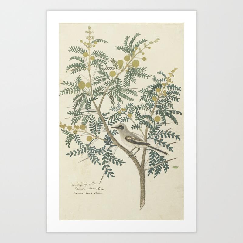 Robert Jacob Gordon Acacia Karroo Hayne Or Vachellia Karroo 1777 1786 Art Print