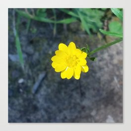 Waxy yellow flower Canvas Print