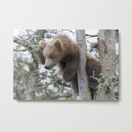 Baby Grizzly Bear (Cub) in Tree Metal Print