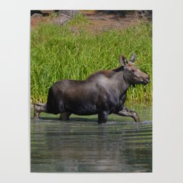 Moose calf in moose lake in Jasper National Park Poster