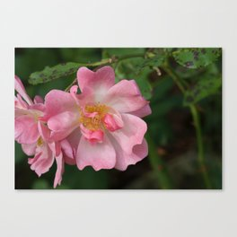 Unravelling rose Canvas Print