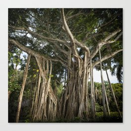 Banyan Tree at Bonnet House Canvas Print