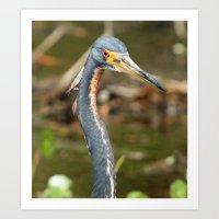 Tri-colored Heron Close-Up Art Print