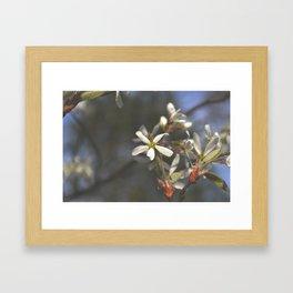 Juneberry Blossoms Framed Art Print