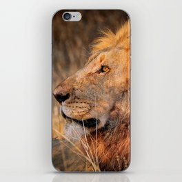 Lion in the evening light, South Africa iPhone Skin
