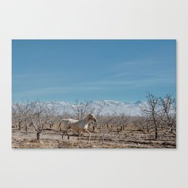 white horse Bolivia Canvas Print