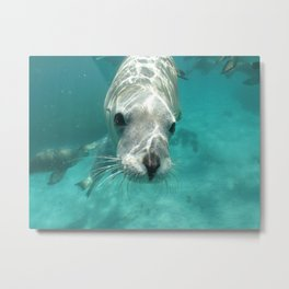 Australian Sea Lion Neophoca cinerea Metal Print