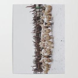 Snowy Sheep Stare Poster