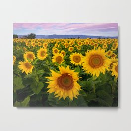 Field of Sunflowers, California Metal Print