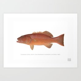 Common Coral Trout Art Print