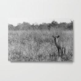 Waterbuck in Benin Metal Print