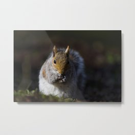 GREY SQUIRREL FORAGE Metal Print