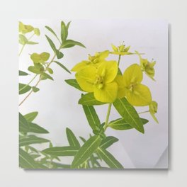 Euphorbia Cornigera Metal Print