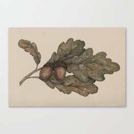 Acorns Canvas Print
