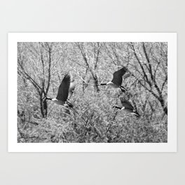 Canada Geese in Black & White Art Print