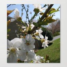 Apple Blossums Canvas Print