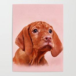 Vizsla puppy- Hungarian pointer Poster