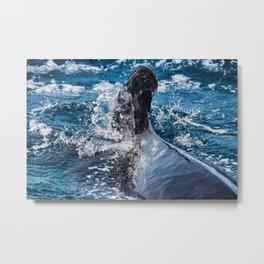 Long-Finned Pilot Whale, Calderon comun (Globicephala melas) Metal Print