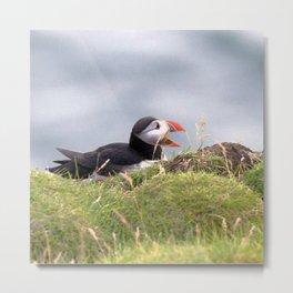 Watercolor Bird, Atlantic Puffins 19, Westman Islands, Iceland Metal Print