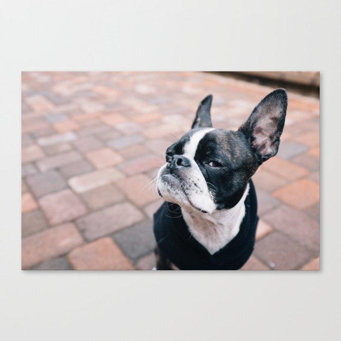 Bruce the Boston Terrier Pug Canvas Print
