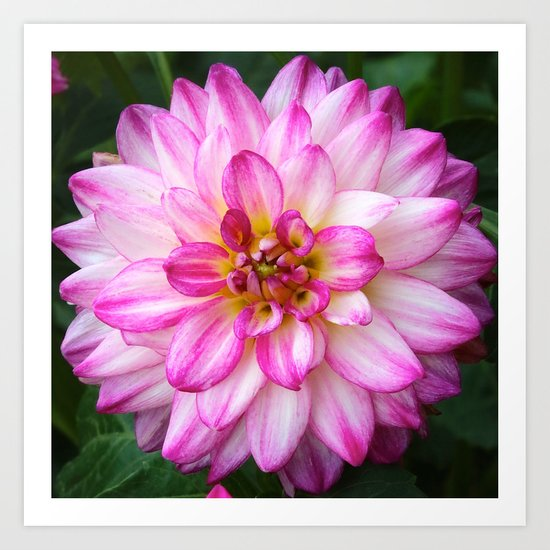 Pink and White Dahlia Art Print