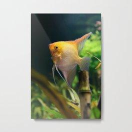 Pterophyllum Scalare yellow fish underwater in nature Metal Print